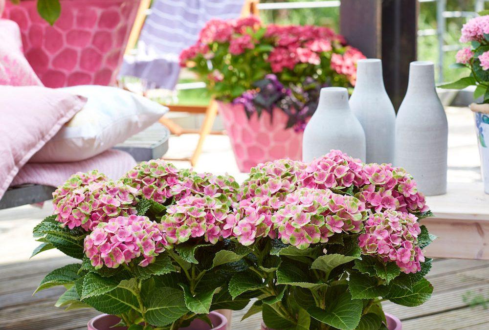 Magische hortensia's kleuren het seizoen